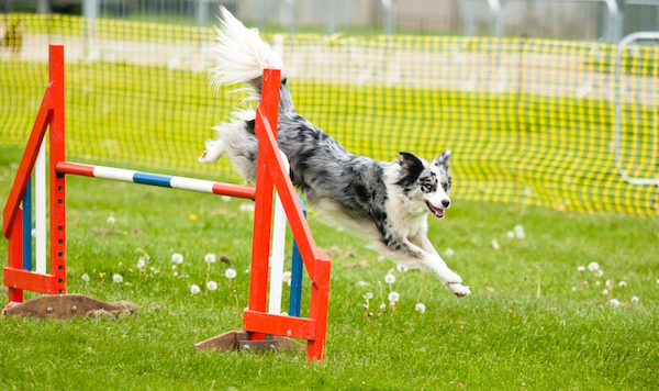 Training, Course, Agility, Dog, Puppy, Valentines